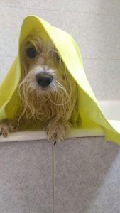 asciugare il pelo del cane maltese dopo il lavaggio