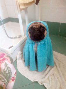 cane carlino dopo il bagno