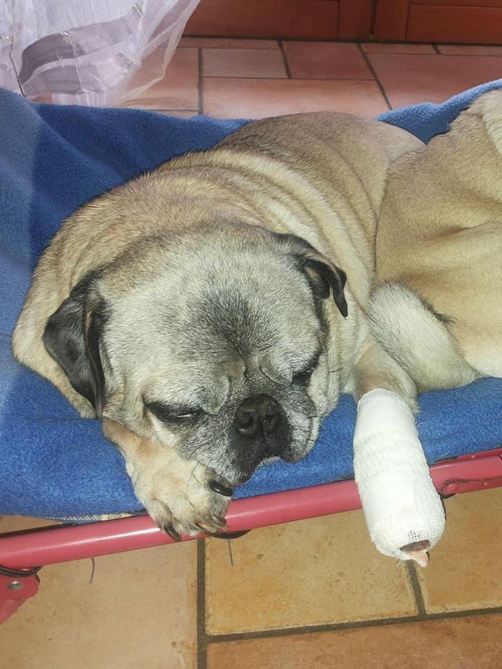 forasacco cane carlino con zampa operata