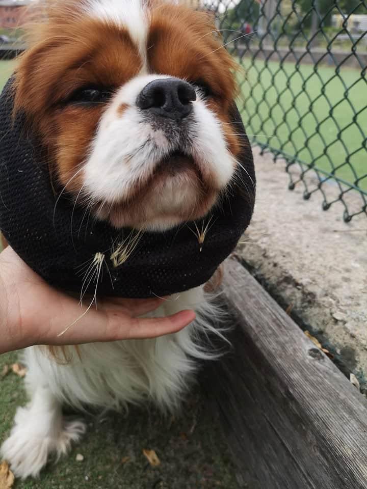 forasacco cane cavalier king con collare protettivo