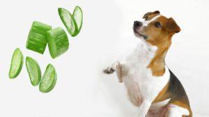aloe vera per cani uso orale e topico