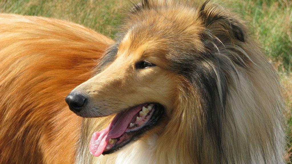 pulire il cane a pelo lungo