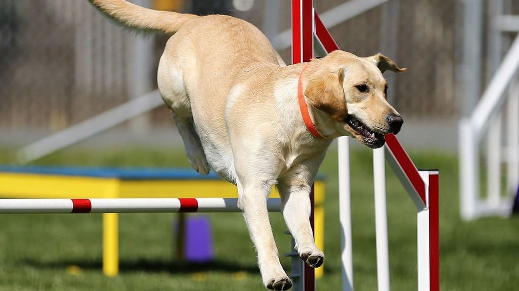 labrador retriever agility dog