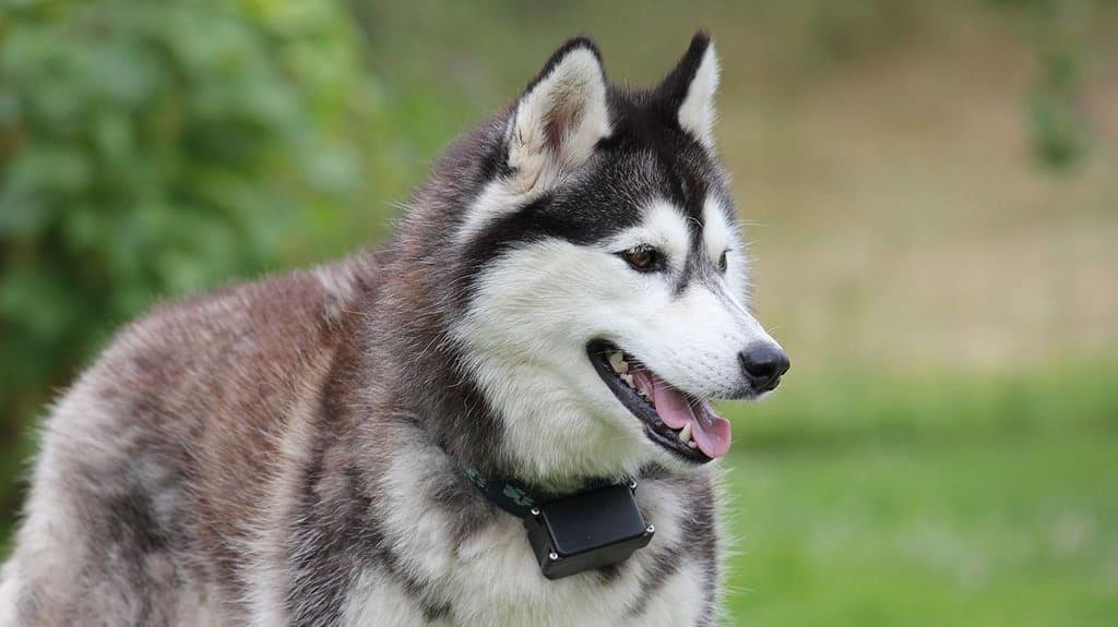 pelo cane siberian husky