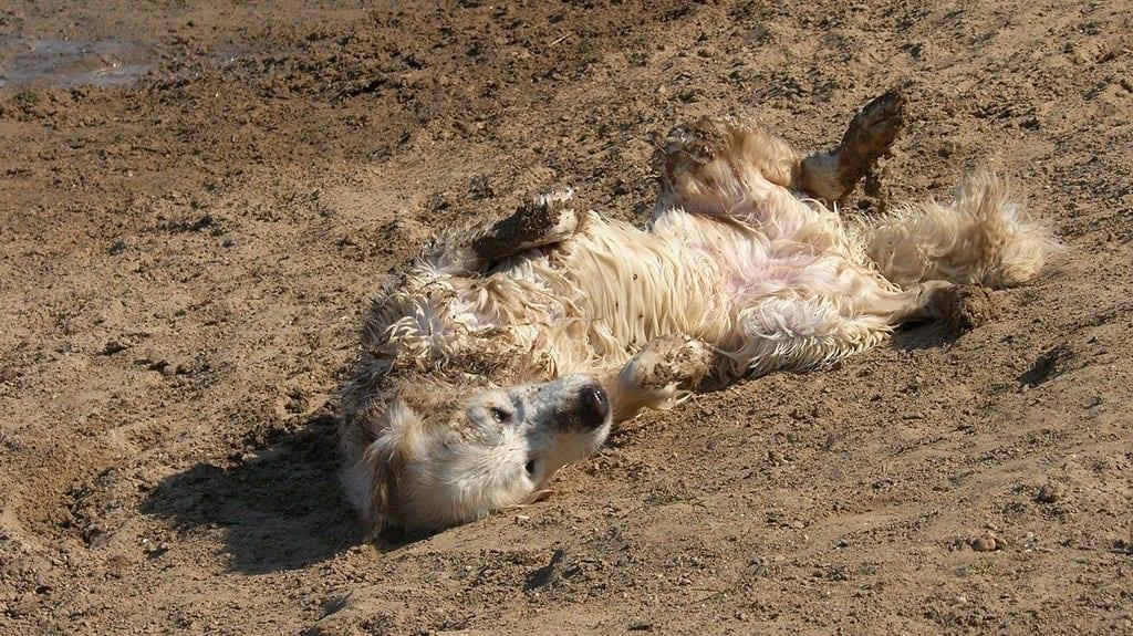 cane golden retriever sporco