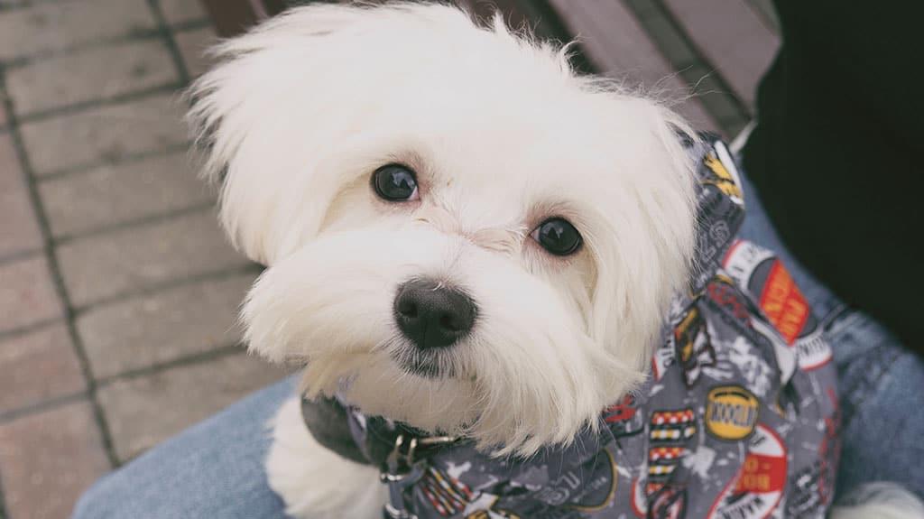 cane maltese senza sottopelo gestione del freddo