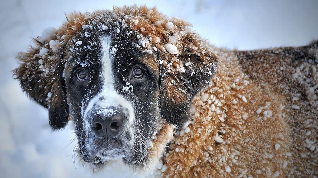 cane san bernardo neve freddo ipotermia