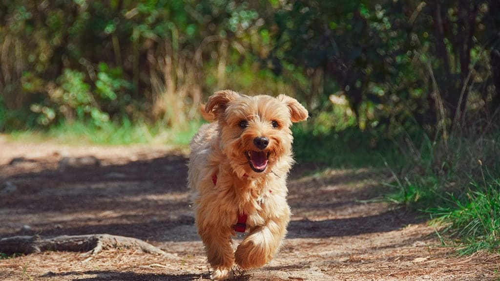 cucciolo cane norfolk terrier in salute