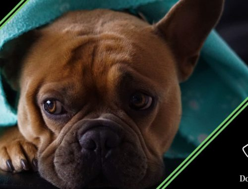 difese immunitarie cane stanco bouledogue francese