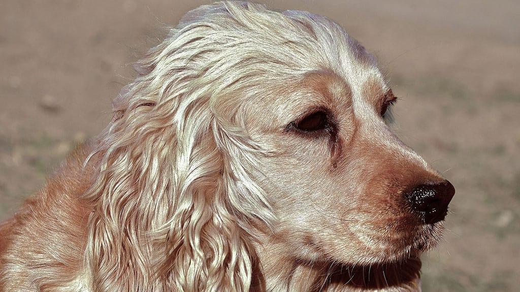 lacrimazione occhi cane cocker spaniel