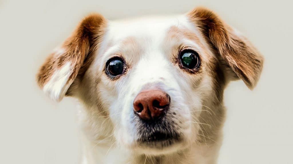 lacrimazione occhi cane macchie rosse