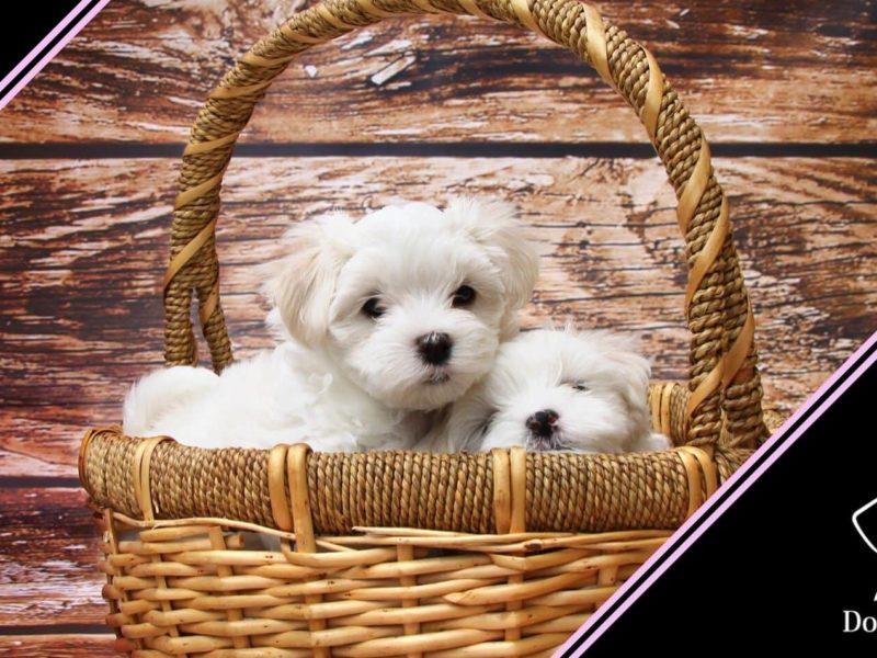 lacrimazione occhi cane maltese barboncino