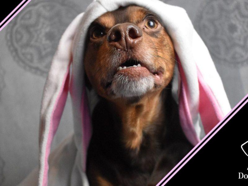 come pulire le orecchie del cane