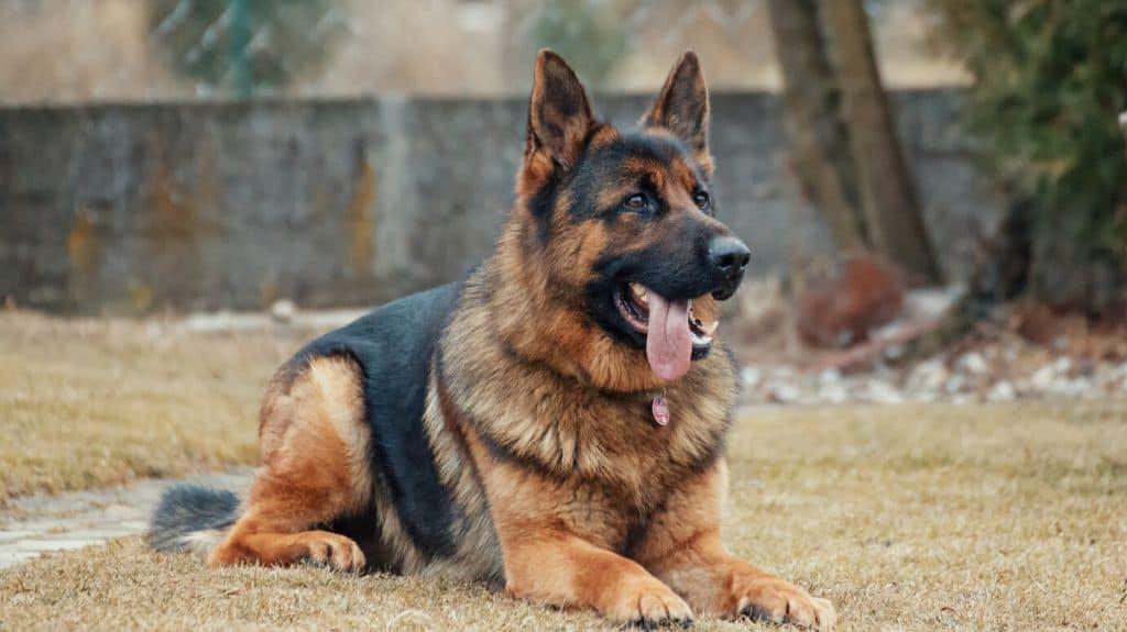 orecchie del cane pastore tedesco