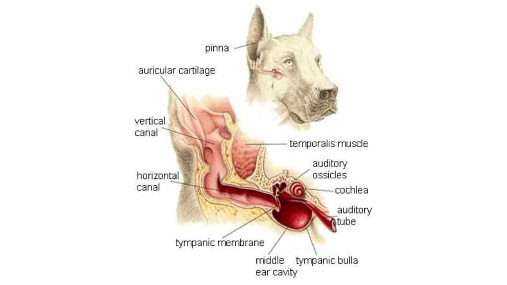 orecchio del cane anatomia