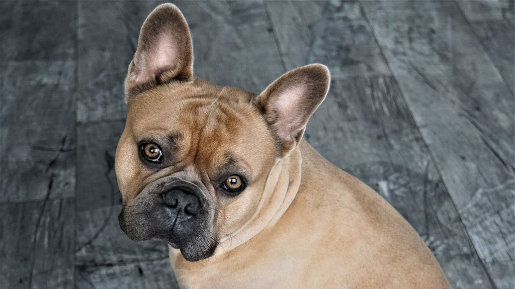 bulldog francese malassezia cane