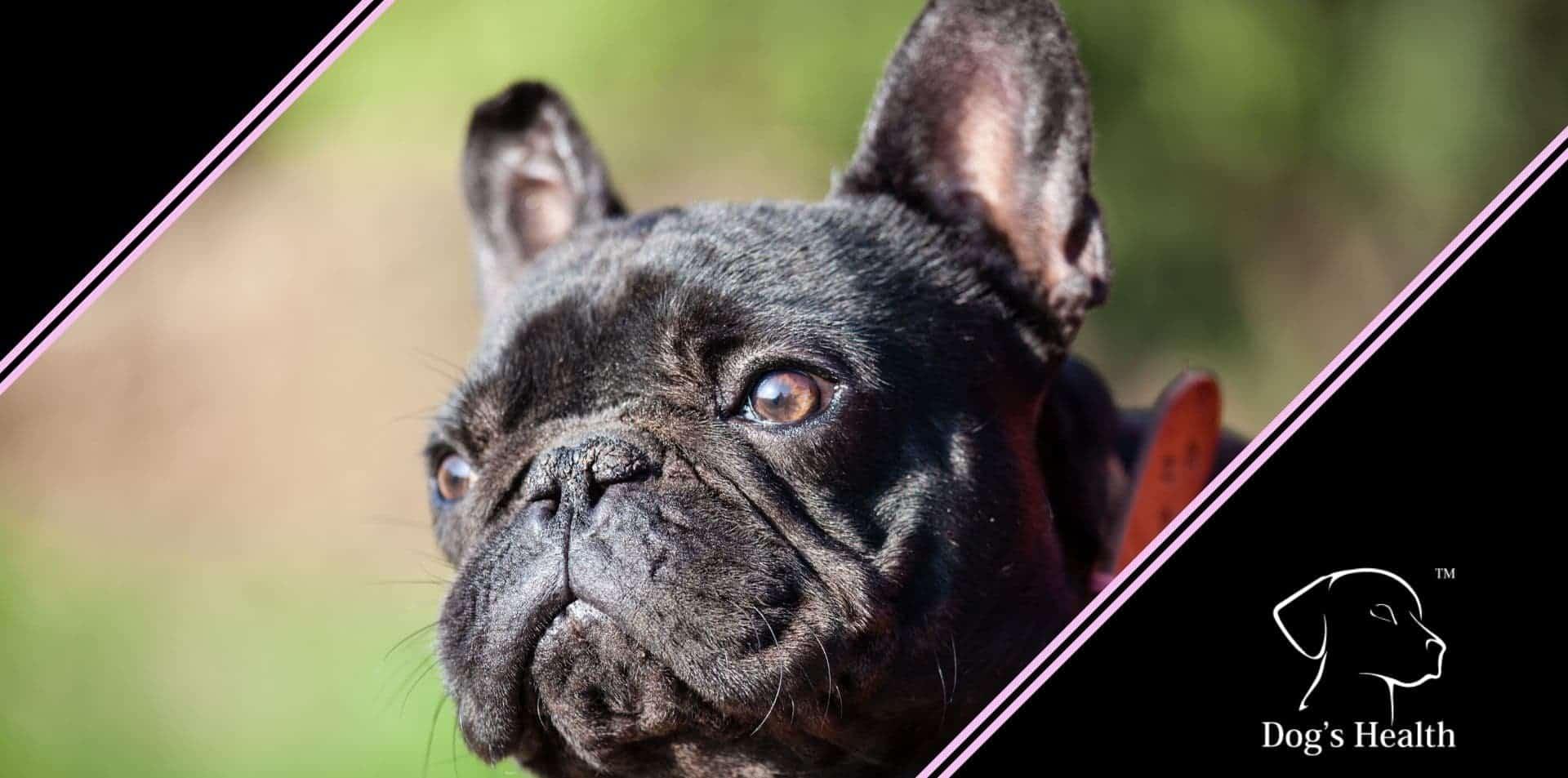 bulldog francese pulire pieghe muso