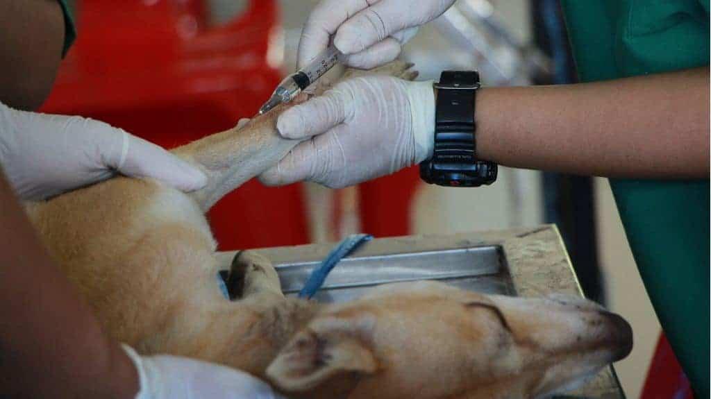 parvovirosi cane: decorso e guarigione