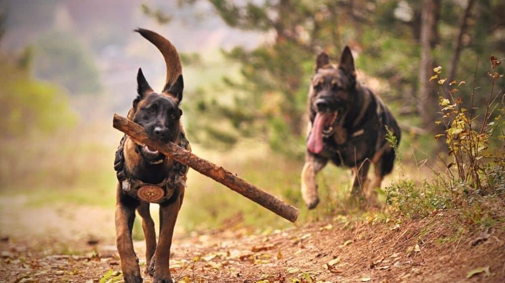 adottare cane pastore tedesco lupoide