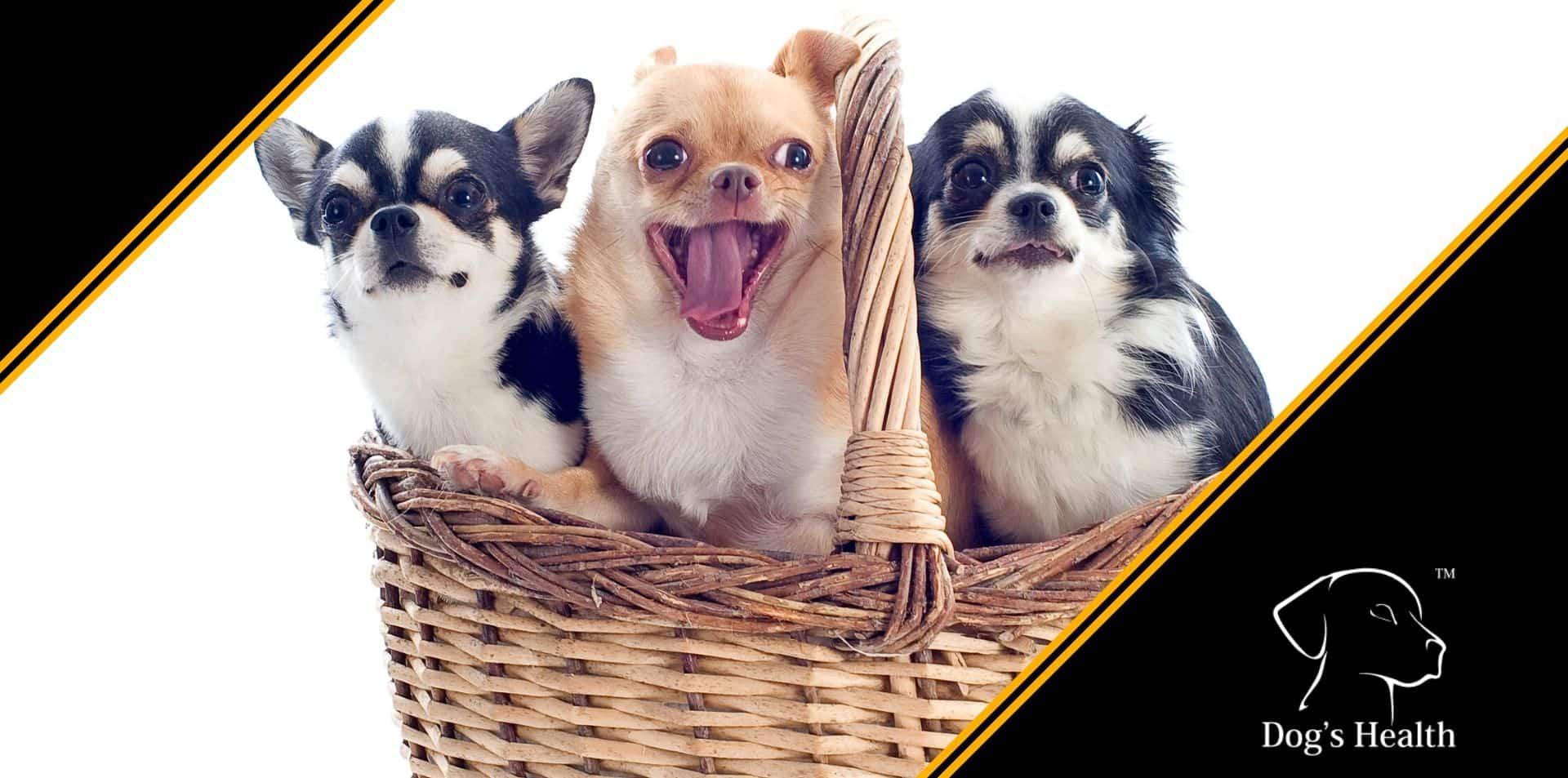 Chihuahua carattere razza allevamento
