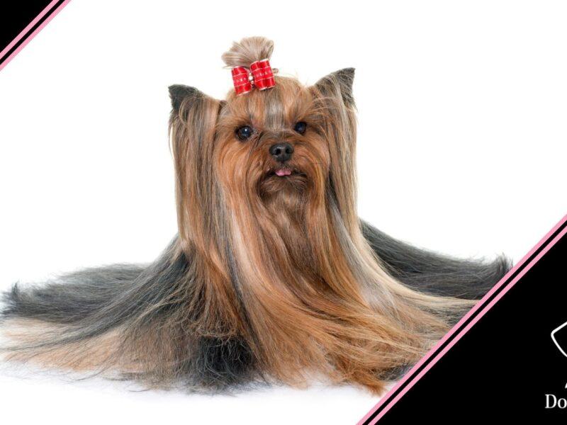 cura del pelo dello yorkshire terrier