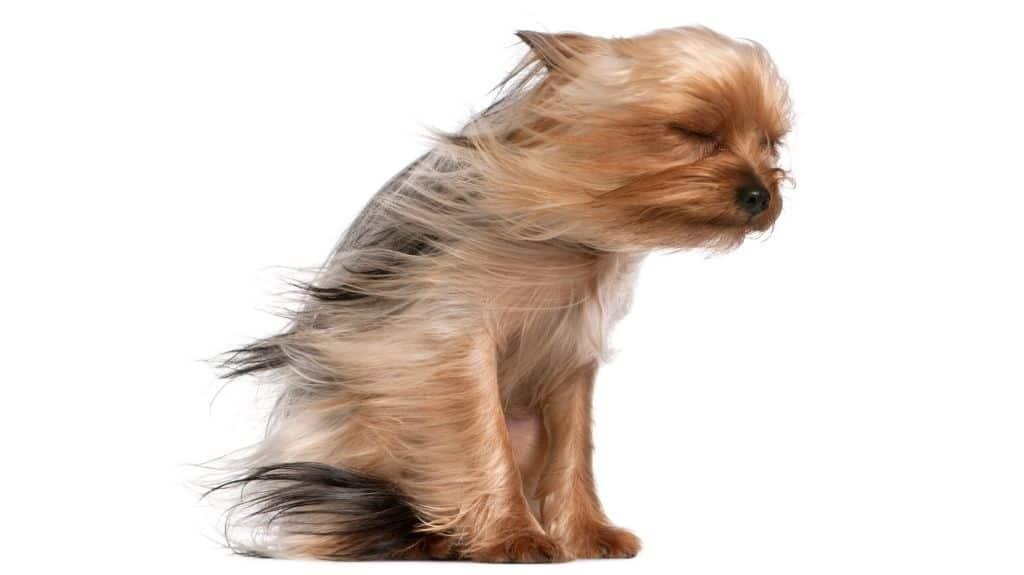 yorkshier terrier pelo lungo