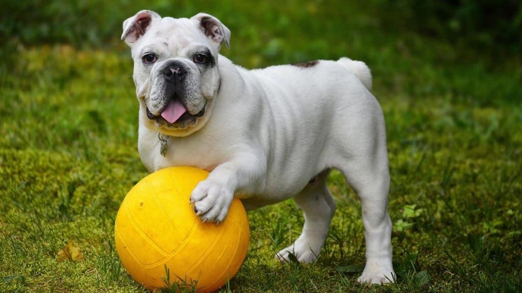 bulldog inglese caratteristiche