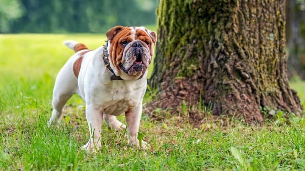 bulldog inglese corporatura