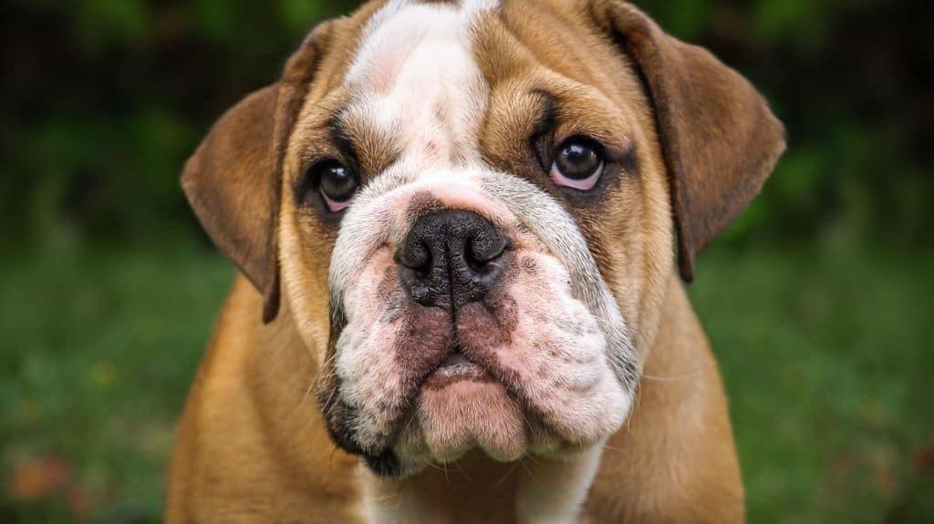 bulldog inglese rosso