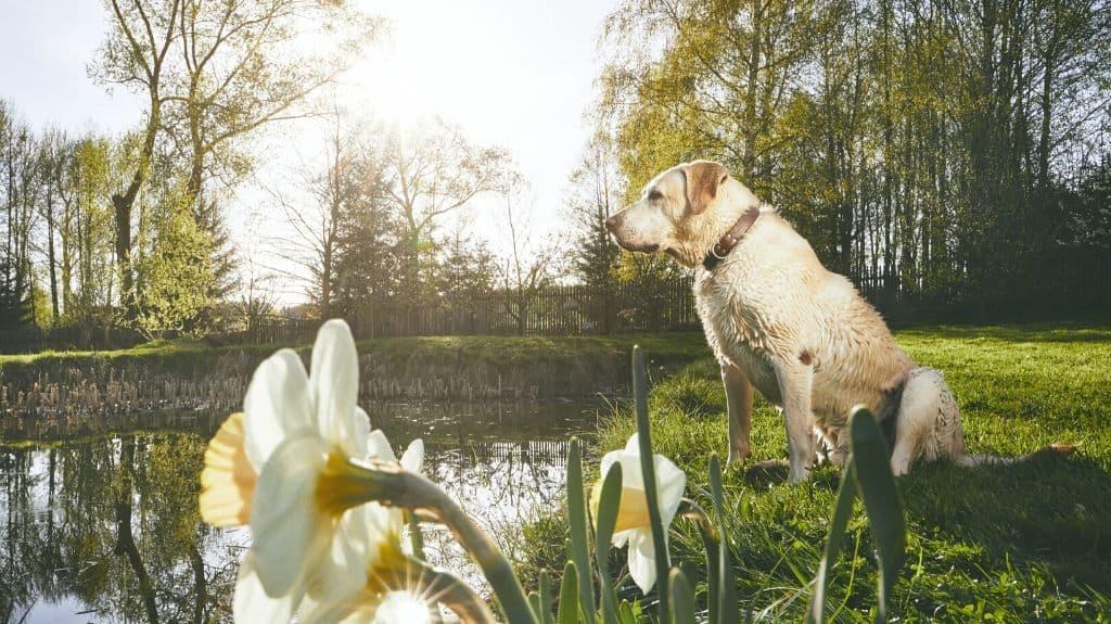 cane labrador pelo impermeabile
