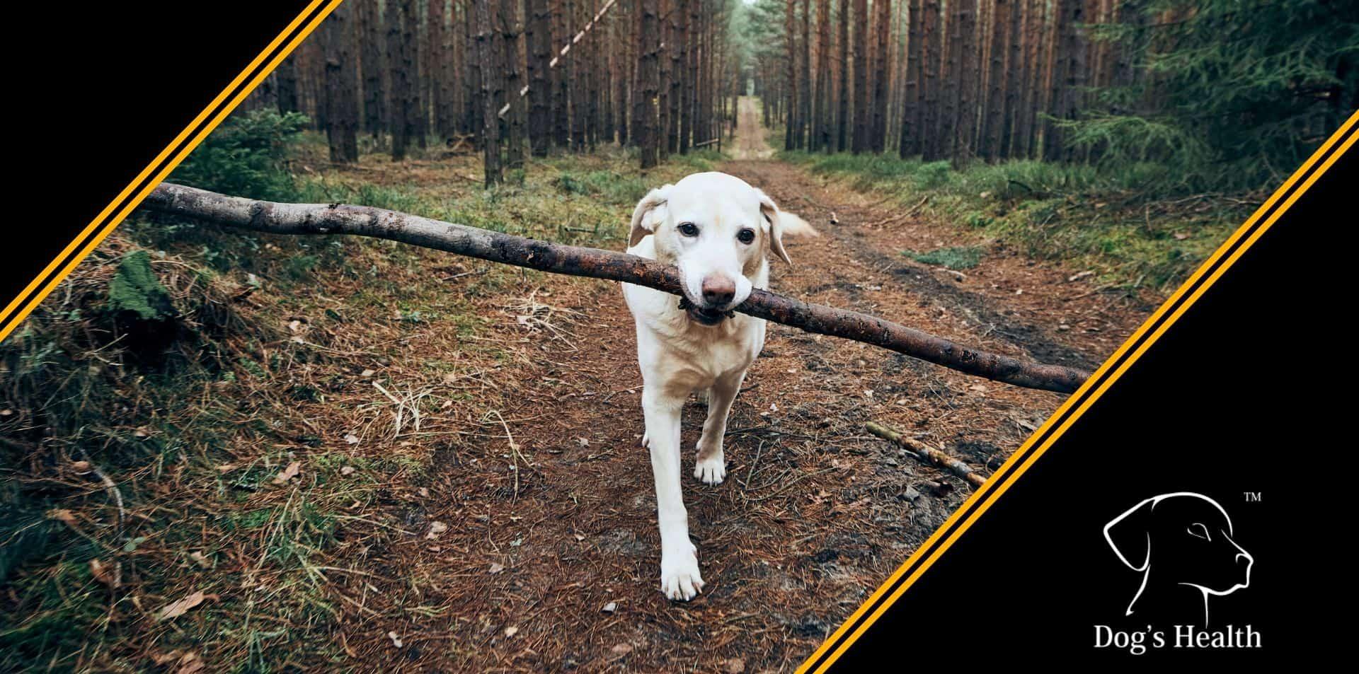 cane labrador retriever riporto