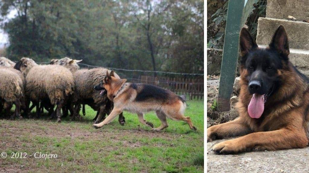 pastore tedesco cane da pastore