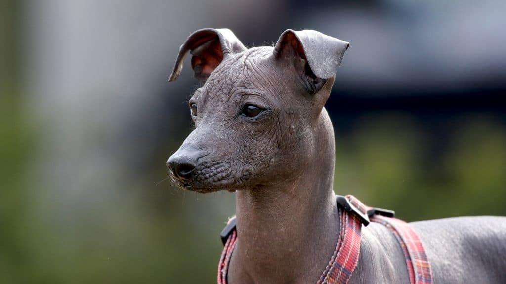 perro sin pelo del perù