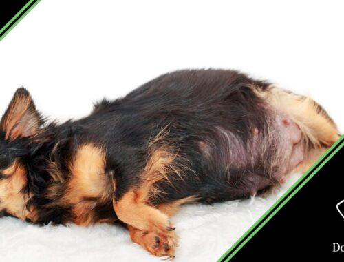 salute del cane in gravidanza