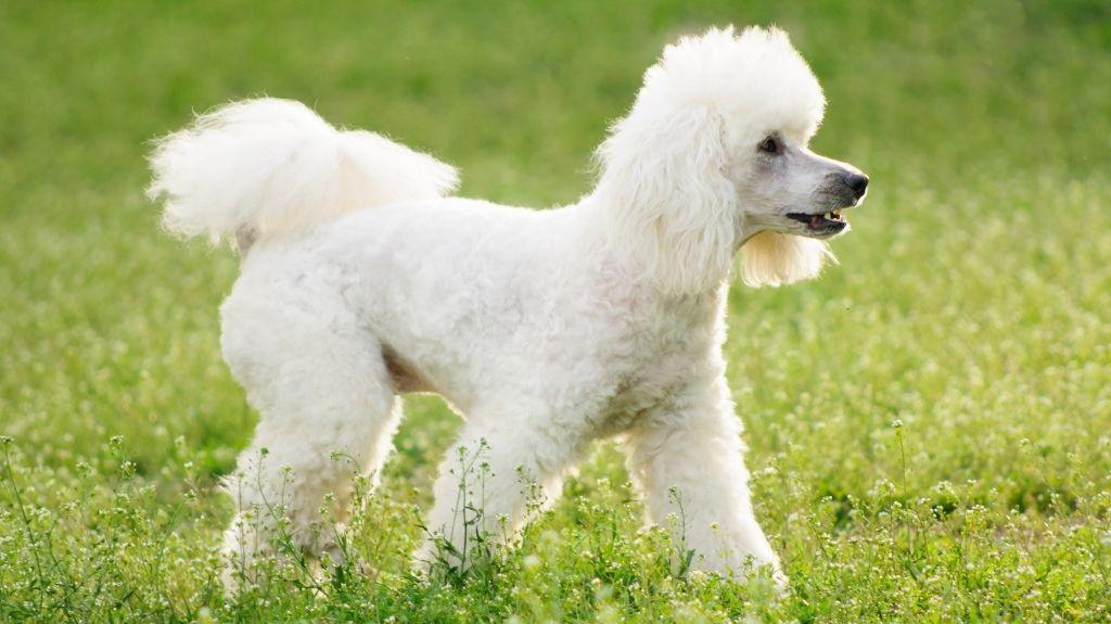 cane barbone bianco