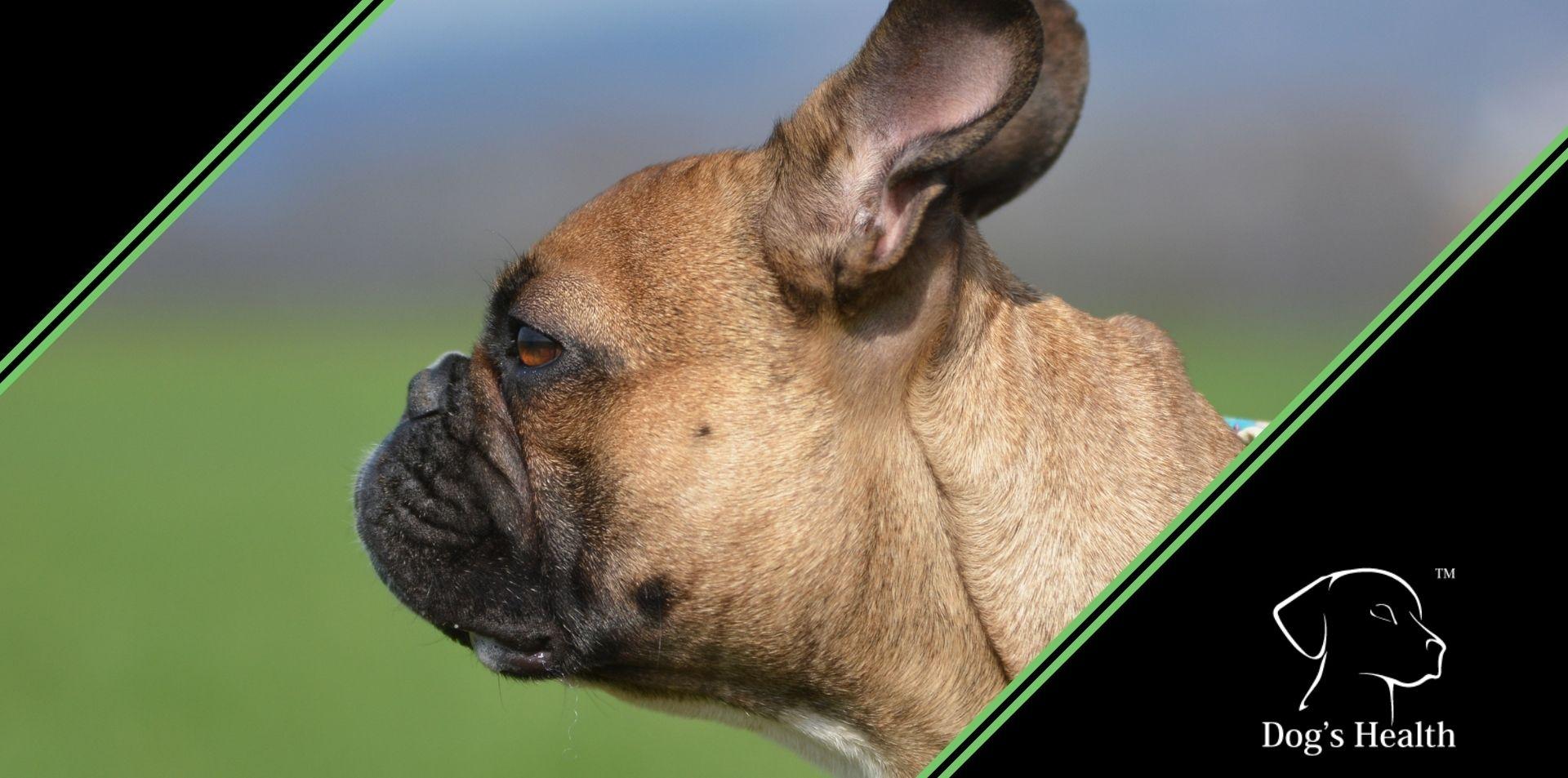 cane muso schiacciato brachicefalo