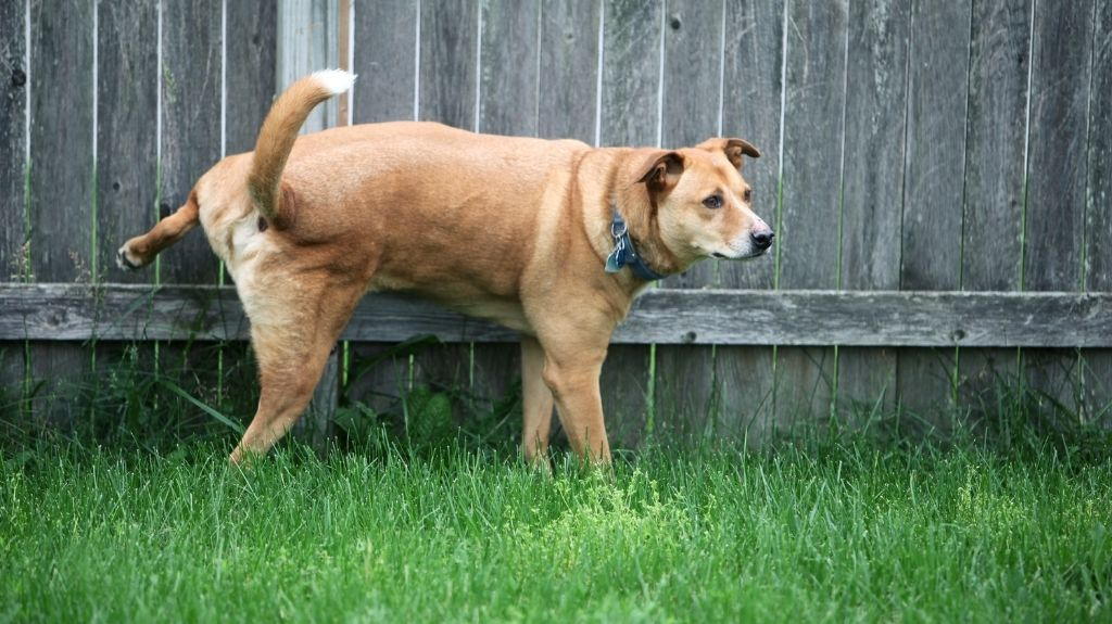 cane adulto pipi in casa