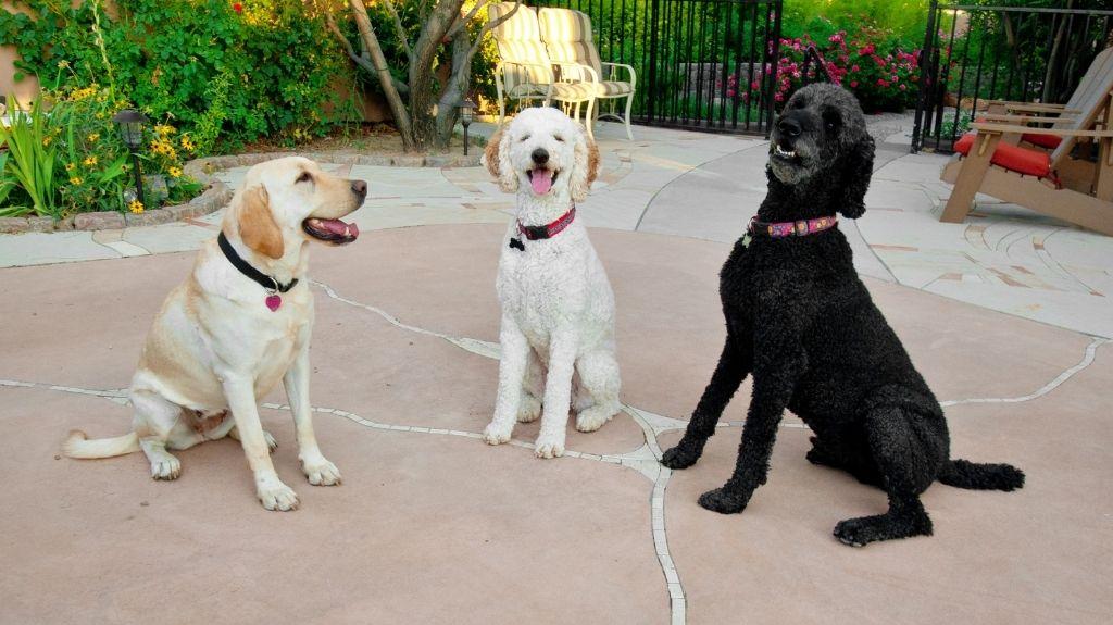 cani che abbaiano tutti insieme