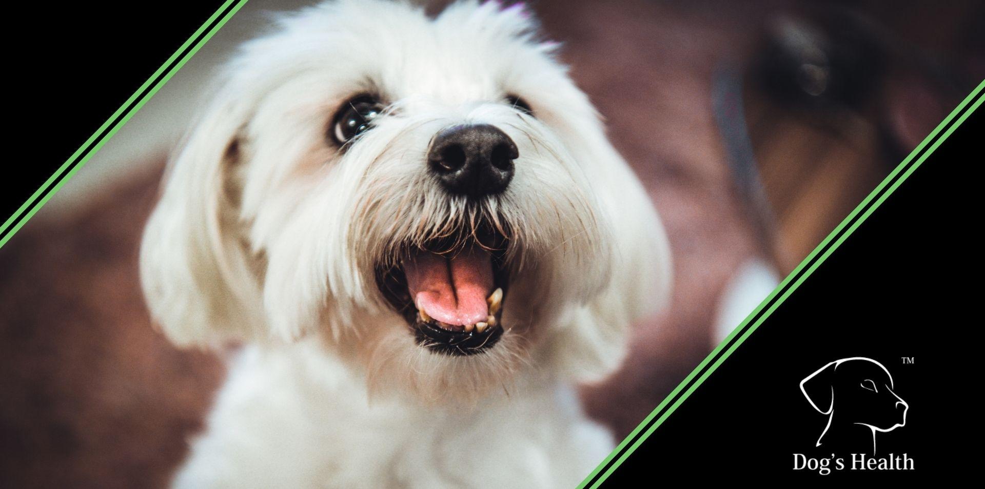 dermatite del cane maltese