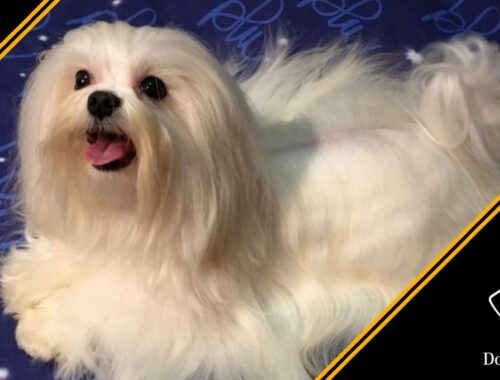 cane maltese razza