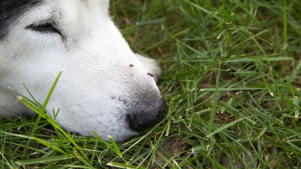 punture di zanzare cane