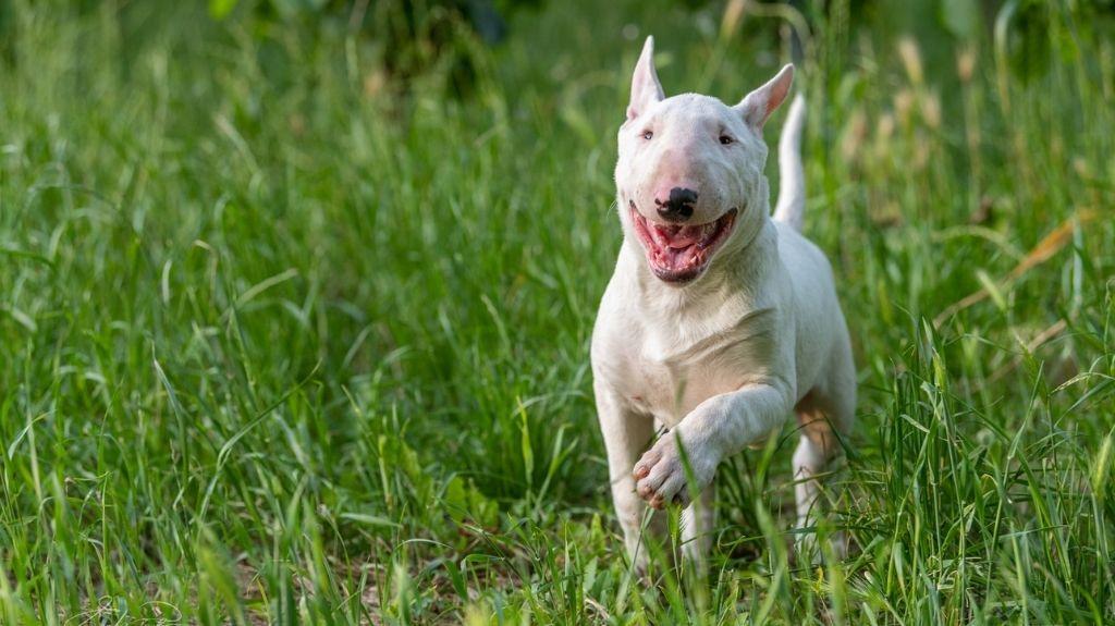 bull terrier cane sportivo